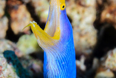 Ribbon Eel, Tropical Reef