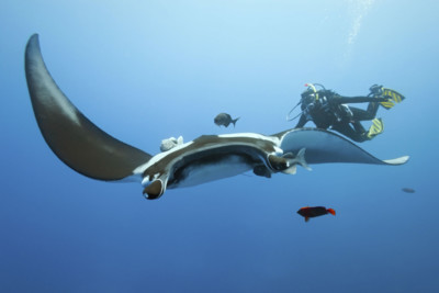Giant Manta Ray and Diver