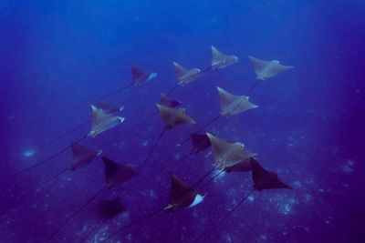 Sting Rays Alphonese Island