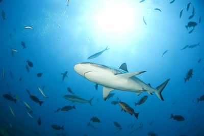 Bull sharks in costa rica