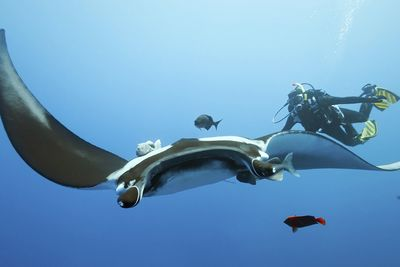 Manta rays in Yap in Indonesia