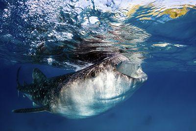 Whale Shark Feeding Tanzania