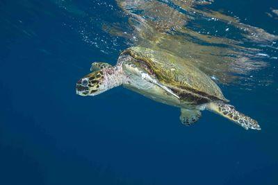 Turtle Swimming Underwater, Oman