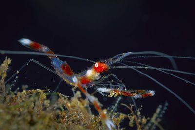 Banded Coral Shrimp, Bali, Indonesia