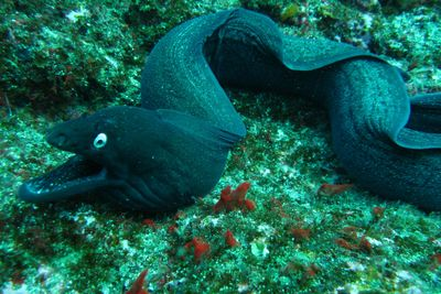 Moray eel diving in the Azores
