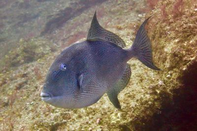 Trigger fish in Santa Maria