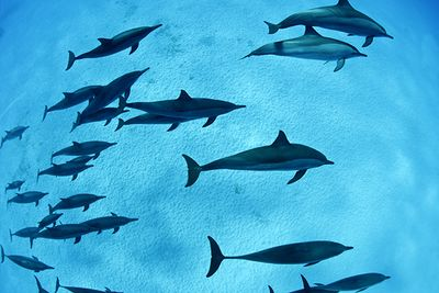 Bottlenose Dolphins, Southern Red Sea, Egypt