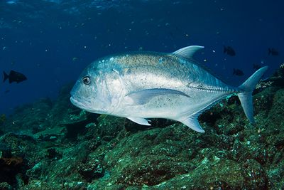 Diving with a Giant Trevally, Komodo, Indonesia