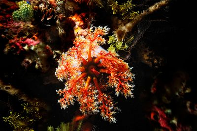 Sea Apple Blue Planet Scuba Diving in Komodo
