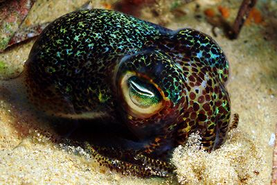 Bobtail squid macro diving in Alor, Indonesia