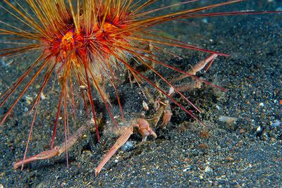 Carrier crab muck diving in the Lembeh Strait