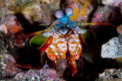peacock mantis shrimp in Lembeh