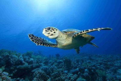 Hawksbill turtle in plastic-free ocean