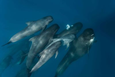 Pod of pilot whales swimming together