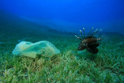 Lionfish swimming next to plastic bag