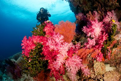 Diving on the soft coral reefs Fiji