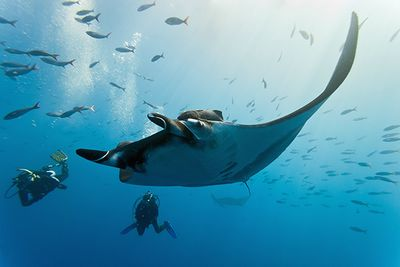 Manta Ray and divers