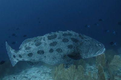 Big fish swimming at Alphonse Island