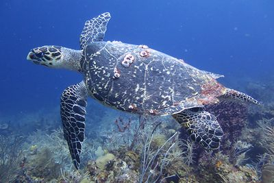 Turtle watching diving the Lighthouse Reef Belize