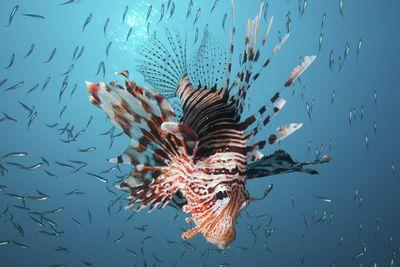 Lionfish, Oman