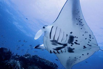 Manta ray at Shadow Reef dive site Raja Ampat