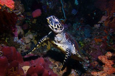 turtle coral reef Indonesia