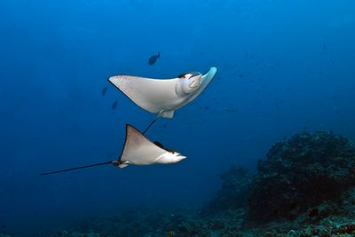 eagle rays diving holiday sao miguel azores