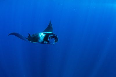 manta rays diving Formigas and Dollabarat azores