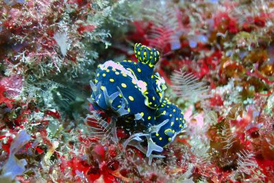 nudibranch macro diving azores