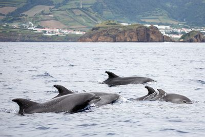 dolphin and whale watching azores