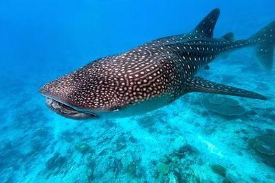 whale shark swimming over coral reef, Maldives