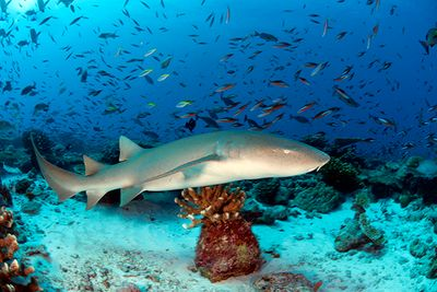 nurse shark swims over coral reef, Maldives