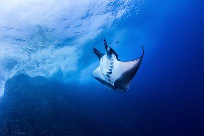 manta ray socorro