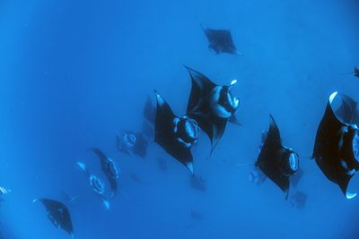 manta rays feeding in the Maldives