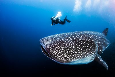 whale shark diving Galapagos