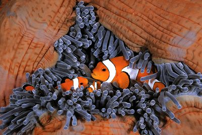 clownfish coral reef fiji