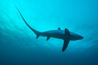 thresher shark, monad shoal, malapascua