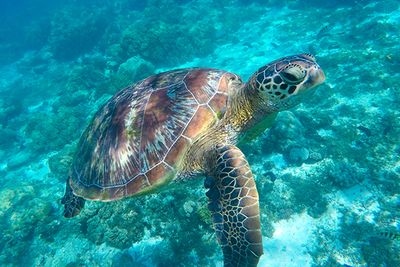 green turtle at coconut point in Apo Island