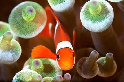 anemonefish soft coral fiji