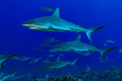 Shark diving, French Polynesia