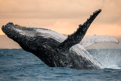 whale breaching, Mozambique, Africa