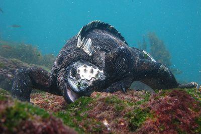Marine Iguana, Galapagos