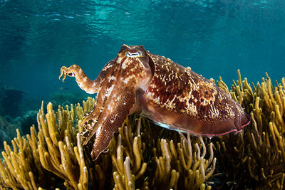 Flamboyant Cuttlefish diving in Kalimaya, Indonesia