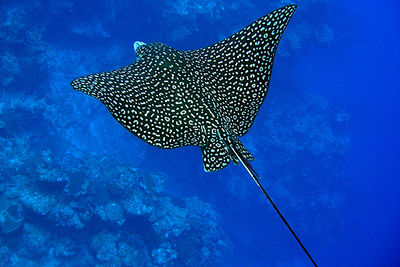 spotted eagle ray, Vincent and the Grenadines