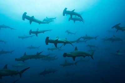Shiver of hammerheads, Galapagos