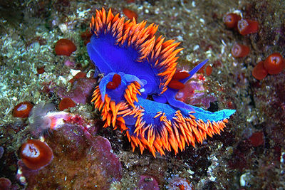 spanish shawl nudibranchs mating