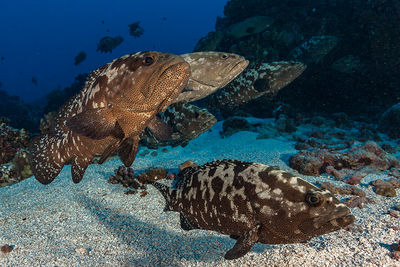 grouper fish spawning