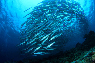 shoal of barracuda, Kimbe Bay, Papua New Guinea