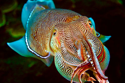 male cuttlefish Oman