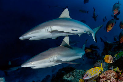 reef sharks Seychelles